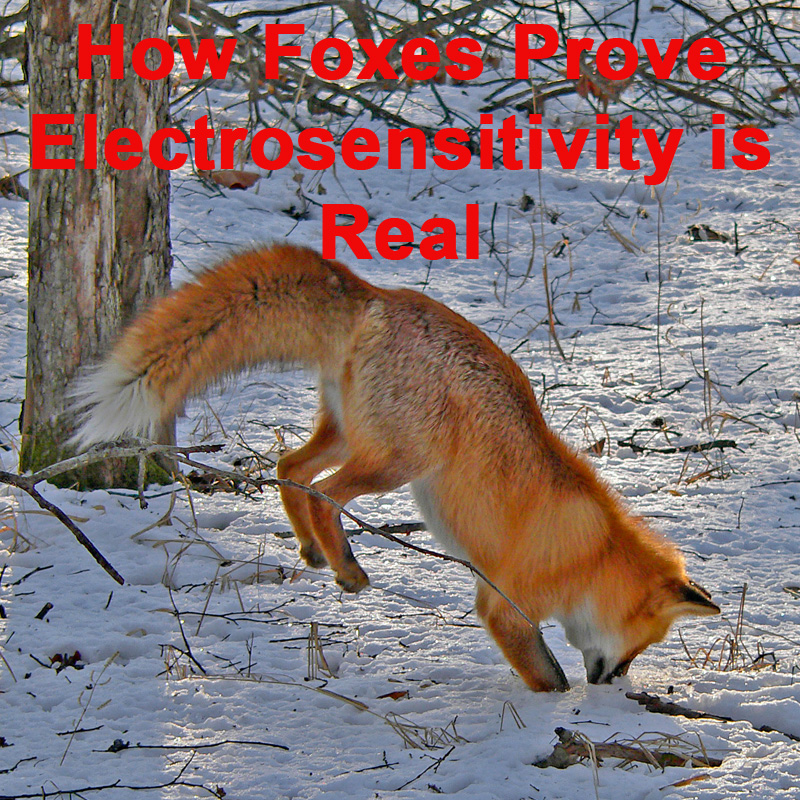 How-Foxes-Prove-Electrosensitivity-is-Real